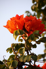 African tulip tree, Fire bell, Fouain tree, Flame of the Forest