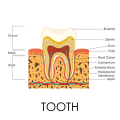 Human Tooth Anatomy