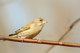Female Greenfinch (Carduelis chloris) in early spring