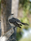 Northern Mockingbird looking back behind itself.
