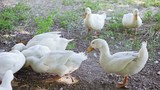 Farm white gooses feeding outdoor (with sound)