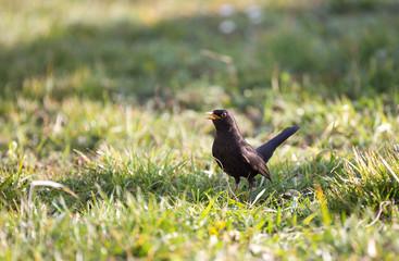 Oiseau merle noir dans le gazon
