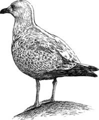 big seagull