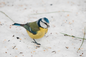 Blue tit on the snowy ground looking for seeds