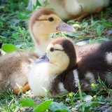 Portrait of two ducklings
