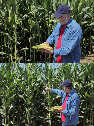 Agronomist examine corn cob and field