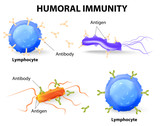 humoral immunity. Lymphocyte, antibody and antigen