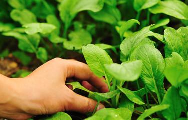hand picking vegetable at garden
