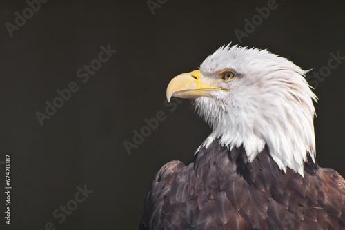 Deurstickers Eagle Bald Eagle