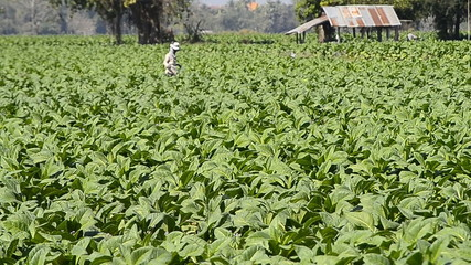 tobacco farm and farmer spray apply fertilizer for plants