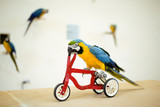 big colorful parrot riding on bicycle