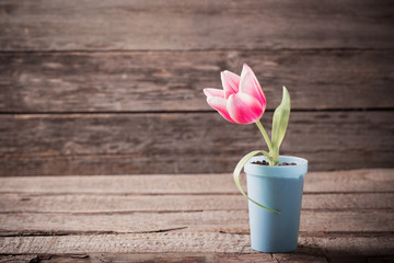 pink tulip  in pot on wooden background