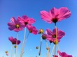 cosmos flowers in pink