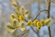 Obrazy na płótnie, fototapety, zdjęcia, fotoobrazy drukowane : floraison aulne