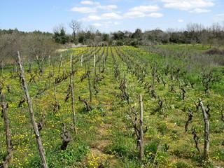 A small scale wine vineyard in Croatia