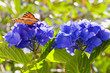 Purple Hortensia flowers and butterfly in the summer garden.