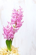 pink hyacinth in flower pot on a white wooden background