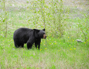 Black bear by Medicin lake. Jasper National park.