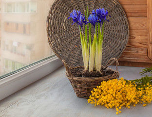 Irises in a basket and mimosa on the window