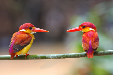 Rufous-backed Kingfisher Ceyx rufidorsus