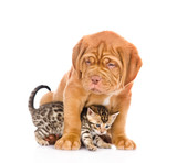 Bordeaux puppy dog and bengal kitten together. isolated on white