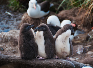 Three rock hopper penguin chicks standing in line