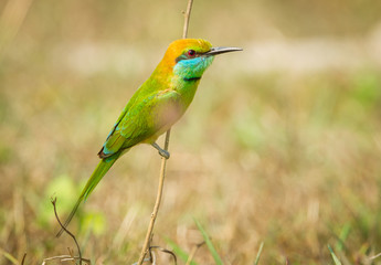Green Bee - eater(Merops orientalis) stair at us