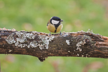 Great tit perched on a tree