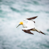 The Australasian Gannet , Muriwai Beach, New Zealand
