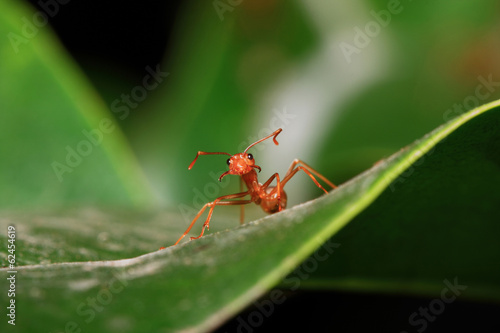 Orange ants walking on green leaves