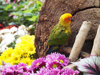 sun conure bird in the garden