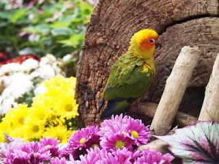 sun conure bird in the garden