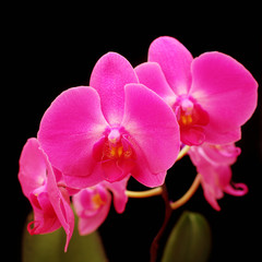 Beautiful pink orchid black background