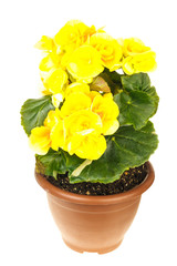 Bright yellow begonia