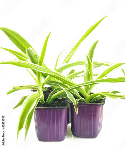 Three lilac pots with seedlings of chlorophytum