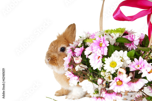 Pet brown rabbit near the basket with spring flowers, isolated o