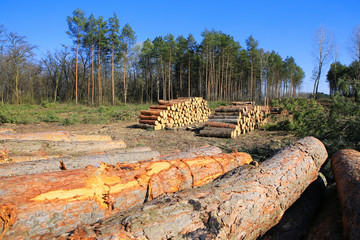 Forest clearing, pile of logs laid.
