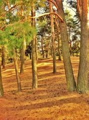 Сосновый лес в солнечный день