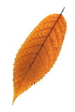 isolated faded cherry leaf