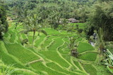Rice terraced field Bali Indonesia
