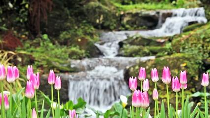 Beautiful tulip with bokeh