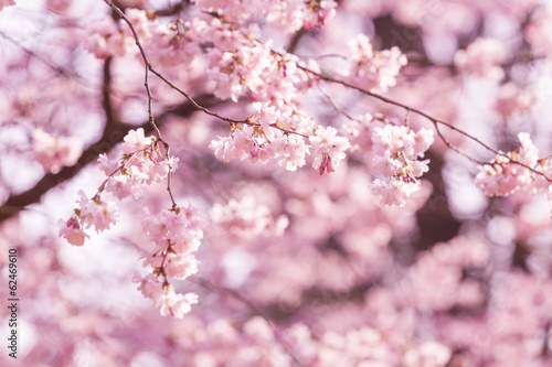 Beautiful Cherry blossom , pink sakura flower