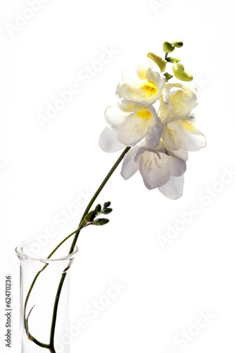 Freesias on White