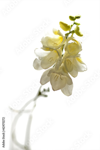 Freesias on White 2