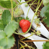 Strawberry Tree on organic plant