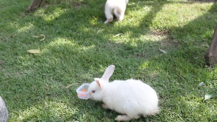 White rabbit eating carrot slices.