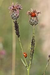 Marienkäfer fressen Blattläuse an Skabiosen-Flockenblume