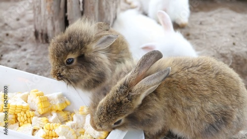 Brown rabbit eating corn.