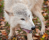 Blonde Wolf (Canis lupus) Chews on Meat Snack
