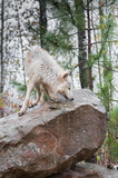 Blonde Wolf (Canis lupus) Sniffs About Atop Rock poster